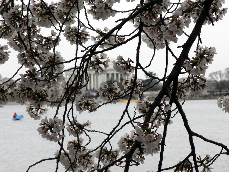 Jefferson Memorial thru the blossoms02